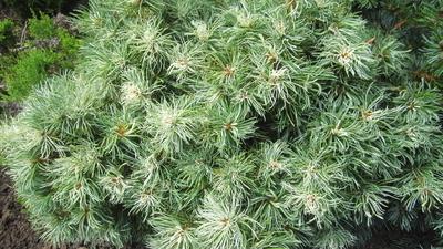 Image Pinus parviflora 'Tanima no uki'