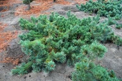 Pinus sylvestris 'Albyn's Prostrata'