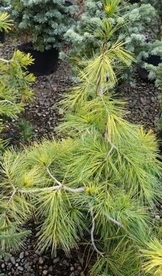 Pinus strobus 'Bergman's Variegated'