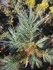 Pinus strobus 'Brevifolia'