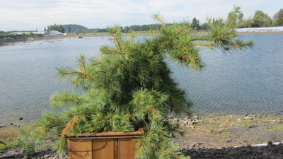 Pinus strobus 'Niagara Falls'