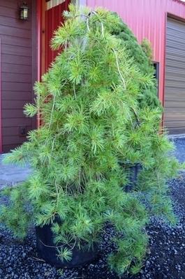 Pinus strobus 'Pendula' (Select)