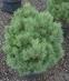 Pinus sylvestris 'Beacon Hill'