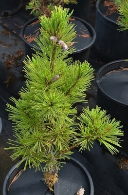 Pinus x schwerinii 'Weithorst'