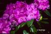 Rhododendron 'Black Satin'