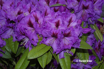 Rhododendron 'Plum Beautiful'