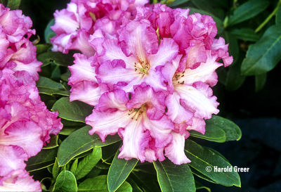 Rhododendron 'Pretty Woman'