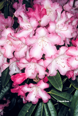 Rhododendron 'Rainbow'