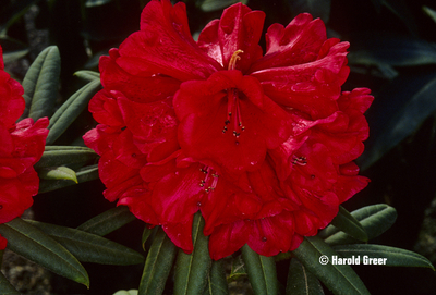Rhododendron 'Red Majesty'