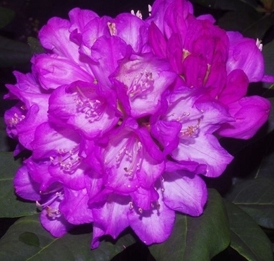 Rhododendron 'Amiblue'
