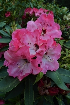 Rhododendron 'Arnold Piper'