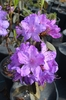Image Rhododendron augustinii 'Barto Blue'