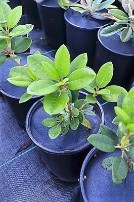 Rhododendron callimorphum