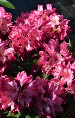 Rhododendron 'Deep Clover'
