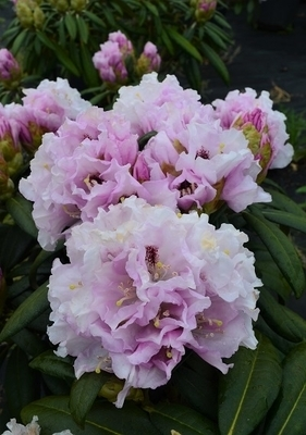 Image Rhododendron 'Gordon Jones'
