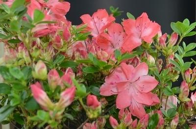 Rhododendron kiusianum 'Komo Kulshan'
