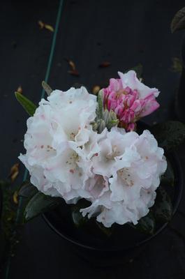 Rhododendron 'Kodiak'