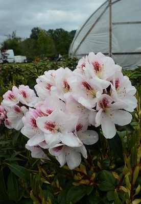 Rhododendron 'Lady de Rothschild'