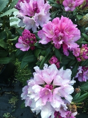 Image Rhododendron 'Lavender Haze'
