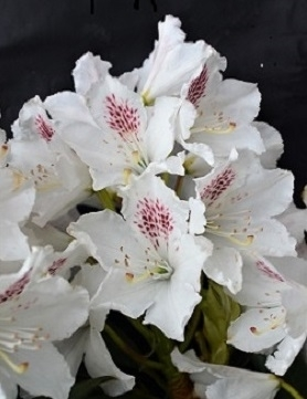Rhododendron 'Martha Player'