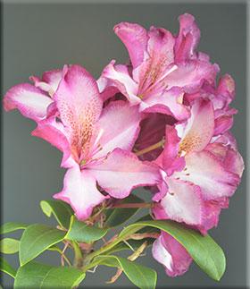 Rhododendron 'Midnight Mystique'