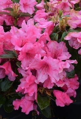 Rhododendron 'Oudijk's Sensation'