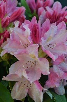 Rhododendron 'Pink Cherub'