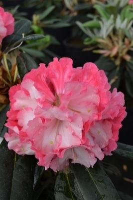 Rhododendron 'Pink Pinwheels'