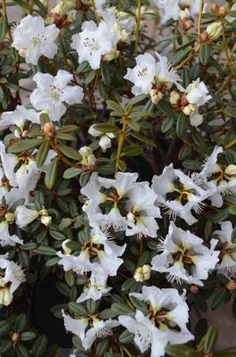 Rhododendron 'Ptarmigan'