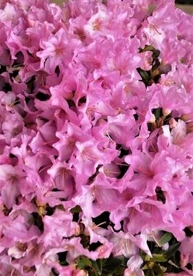 Rhododendron 'Robert Seleger'
