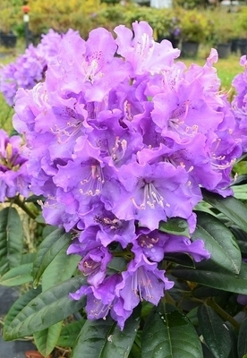 Rhododendron 'True Blue'