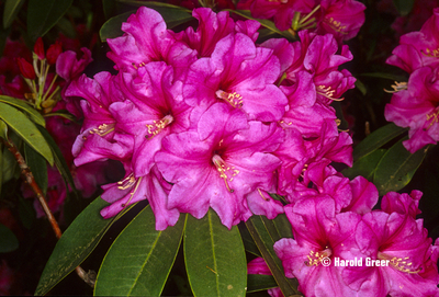 Rhododendron 'Ruby Bowman'