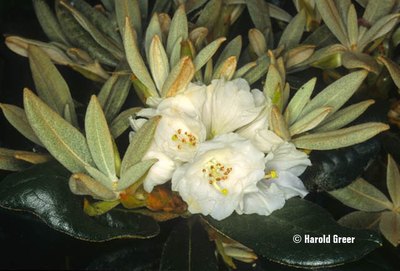 Rhododendron 'Silver Bear'