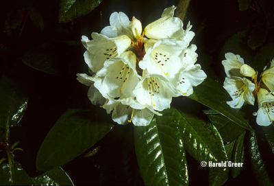 Rhododendron 'Sir Charles Lemon'