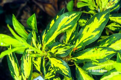 Rhododendron 'Superflimmer'