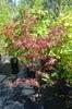 Acer palmatum 'Aka hosada'