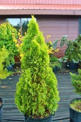 Image Thuja occidentalis 'Janed Gold'
