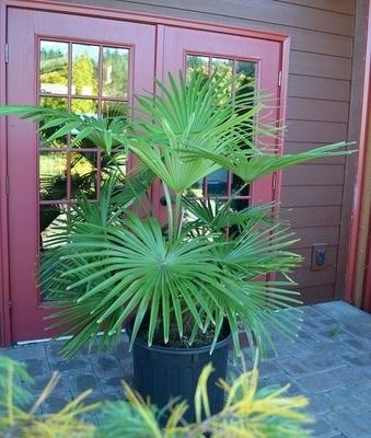 Image Trachycarpus fortunei