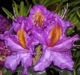 Image Rhododendron 'Valley Sunrise'