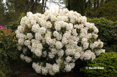 Rhododendron 'White Gold'