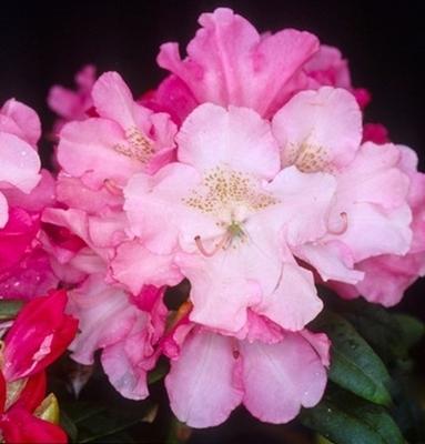 Rhododendron 'Yaku Prince'