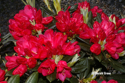Rhododendron degronianum ssp. yakushimanum 'Yummy Yak'