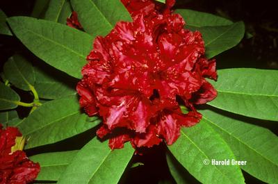 Rhododendron 'Vivacious'